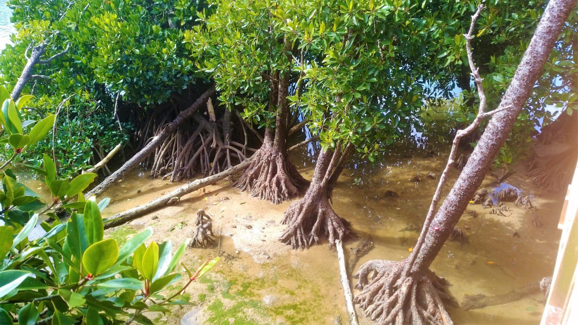 日本有数のマングローブ群‥沖縄県屈指のマングローブスポット紹介してみた。